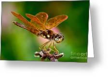 Eastern Amberwing Greeting Card