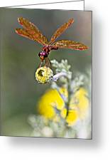 Eastern Amberwing Dragonfly Greeting Card
