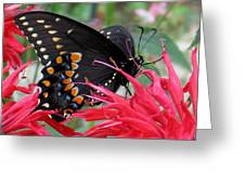 Eastern Black Swallowtail And Bee Balm Greeting Card