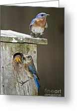 Eastern Bluebird Family Greeting Card