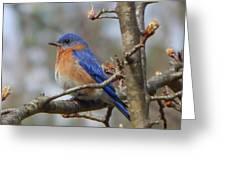Eastern Bluebird In A Pear Tree Greeting Card
