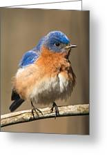 Eastern Bluebird Male Ruffled Greeting Card
