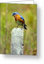 Eastern Bluebird Pose Greeting Card