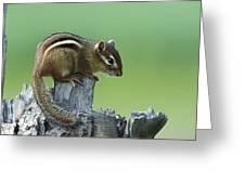 Eastern Chipmunk On Snag North America Greeting Card