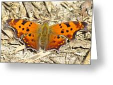 Eastern Comma Greeting Card