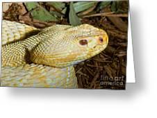 Eastern Diamondback Rattlesnake Albino Greeting Card
