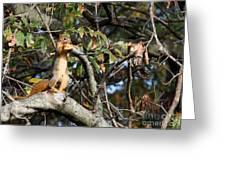 Eastern Fox Squirrel Greeting Card by Jack R Brock
