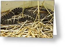 Eastern Massasauga Rattlesnake Sistrurus Catenatus Poster Look Greeting Card