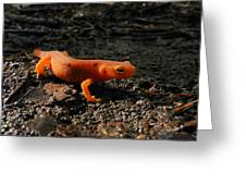 Eastern Newt Red Eft Greeting Card