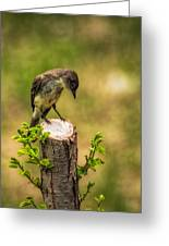 Eastern Phoebe Greeting Card by Bob Orsillo