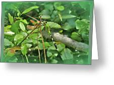 Eastern Pondhawk Female Dragonfly - Erythemis Simplicicollis - On Pine Needles Greeting Card