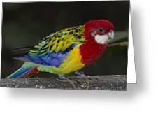 Eastern Rosella Greeting Card by Gerald Murray Photography