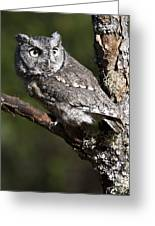 Eastern Screech-owl Otus Asio Greeting Card