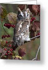 Eastern Screech Owl Red And Gray Phases Greeting Card