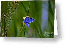 Eastern Tail Blue Butterfly Greeting Card