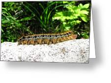Eastern Tent Caterpillar Greeting Card