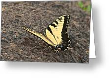 Eastern Tiger Swallowtail 8564 3241 Greeting Card