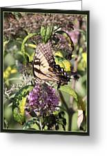 Eastern Tiger Swallowtail - Butterfly Greeting Card