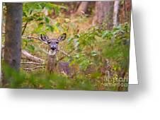 Eastern Whitetail Deer Greeting Card
