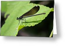 Ebony Jewelwing Damselfly  Greeting Card