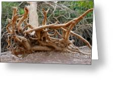 Eccentric Tree Root Growing In Ein Gedi Greeting Card