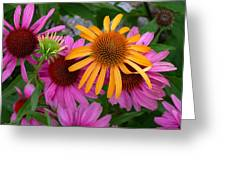 Echinacea Mango Meadowbrite Greeting Card