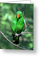 Eclectus Parrot-1 Greeting Card