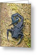 Ecuadorian Black Scorpion Greeting Card
