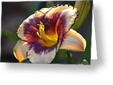 Edged In Crimson - Lily Greeting Card