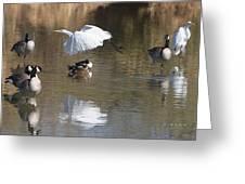 Egret And Geese At Gilbert  Riparian Preserve Greeting Card