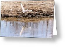 Egret Taking Off Greeting Card