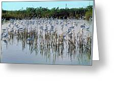 149838-egrets Feeding, Everglades Nat Park  Greeting Card