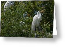 Egrets In Tree Greeting Card