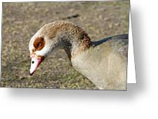 Egyptian Goose Profile Greeting Card