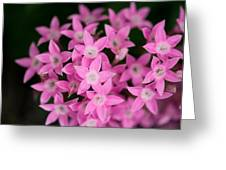 Egyptian Star Flowers Or Penta Greeting Card