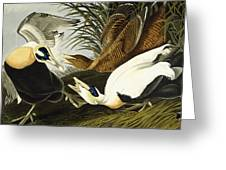 Eider Ducks Greeting Card