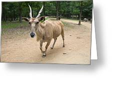 Eland Antelope Out In The Open Greeting Card