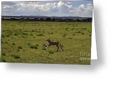 Eland Calf   #7195 Greeting Card