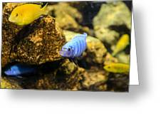 Electric Cichlids Greeting Card