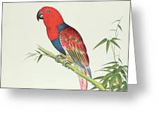 Electus Parrot On A Bamboo Shoot Greeting Card