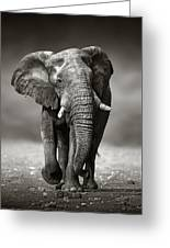 Elephant Approach From The Front Greeting Card