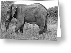 Elephant Bull In Black And White Greeting Card