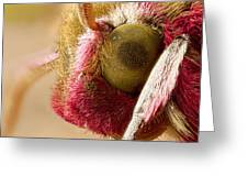 Elephant Hawk Moth Extreme Macro Greeting Card