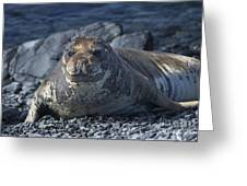 Elephant Seal Pup... Greeting Card