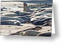 Elephant Seals At Ano Nuevo State Park California Greeting Card by Natural Focal Point Photography
