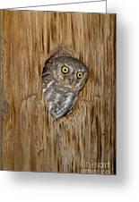 Elf Owl Greeting Card