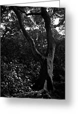 Elizabethan Gardens Tree In B And W Greeting Card