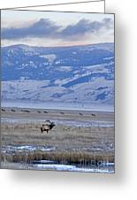 Elk At Dusk Greeting Card