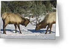 Elk  Bulls Fighting In Yellowstone Greeting Card