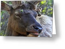 Elk Chuckle Greeting Card